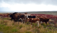 Icelandic cattle