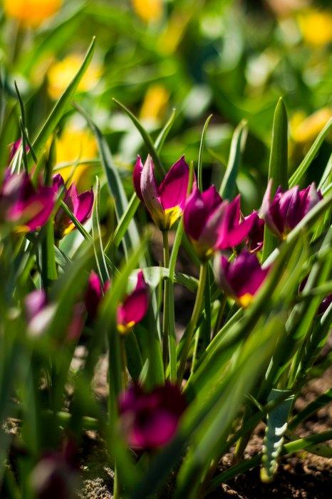 Tulips at Keukenhof Gardens